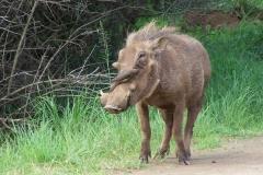warthog and red billed tickbird