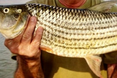 tiger fish at jozini